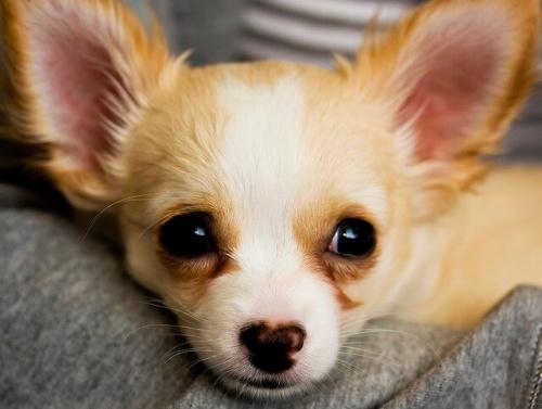 Cómo educar correctamente a un Chihuahua