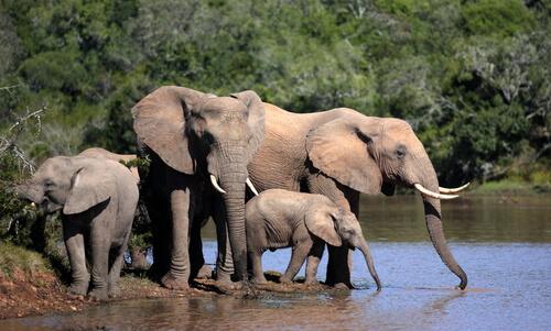 Los elefantes permanecen en manada.