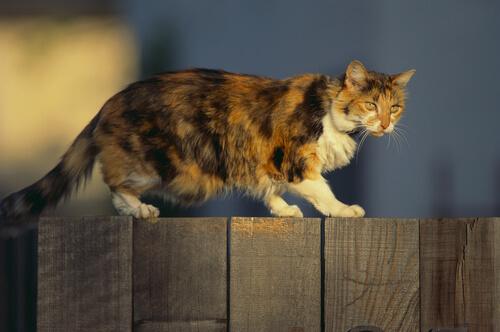gato caminando por una valla