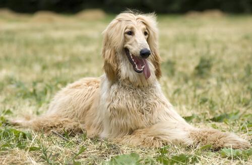 Las 5 razas de perros menos inteligentes