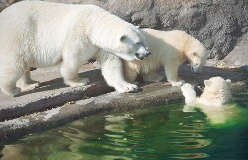 Los osos polares y el calentamiento global