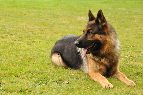 German Shepherd laying on the grass