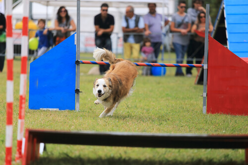 perro agility