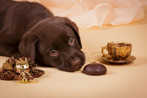Perro oliendo chocolate