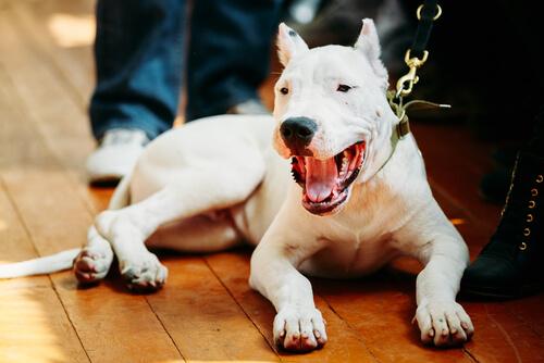Dogo Argentino, una raza peculiar