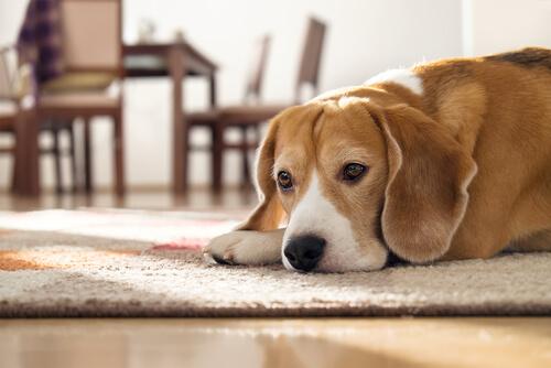 Un perro fue adoptado por una empresa brasileña
