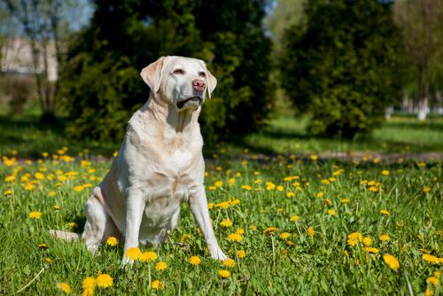 perro labrador sentado