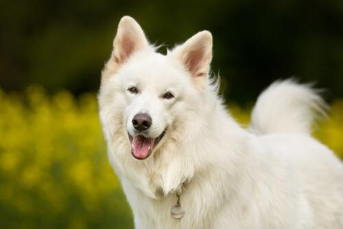 perro samoyedo contento