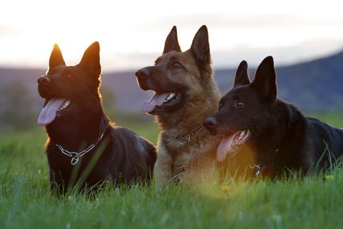 5 comportamientos de los perros que intentan atacar