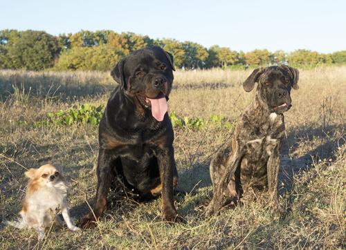 Un Rottweiler salva a un Chihuahua de un coyote