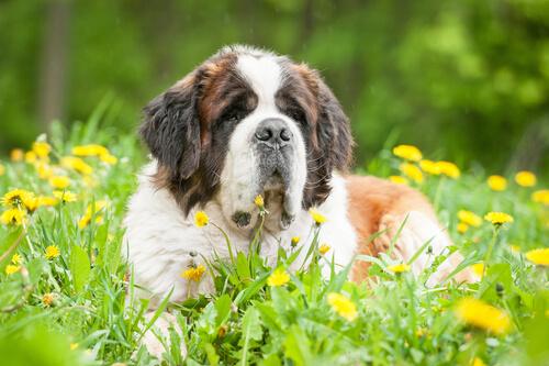 Las 5 razas de perros más tranquilos