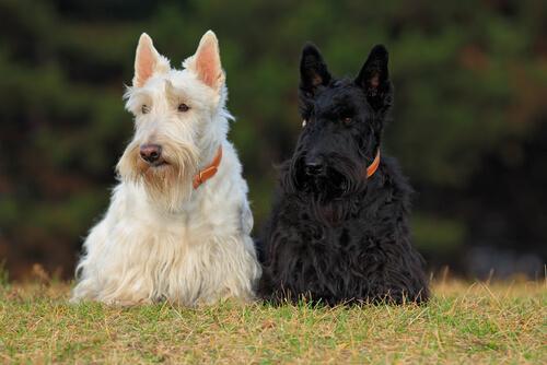 Terriers: perros muy divertidos