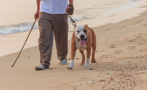 bull dog paseando en la playa
