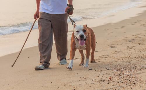 bull dog paseando en la playa
