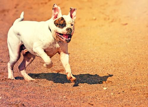 Perro bulldog americano corriendo