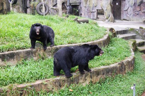 Un chino crió a dos osos pensando que eran perros