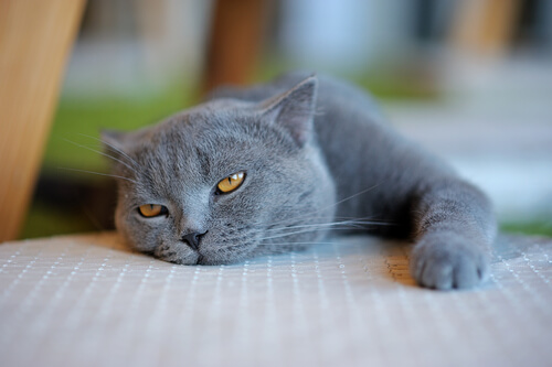Gato deitado