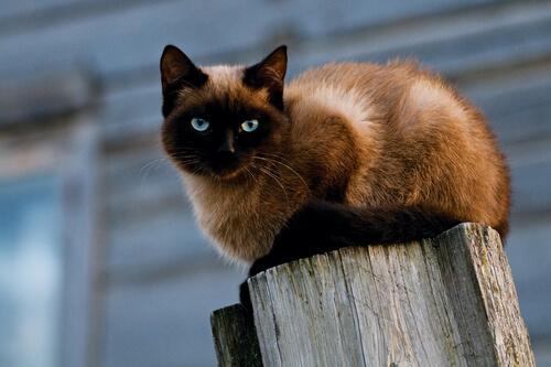 Gato siames sobre un poste