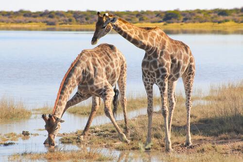 Dos jirafas bebiendo en el río.
