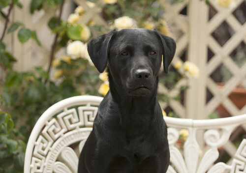 Black Labrador sitting on a bench