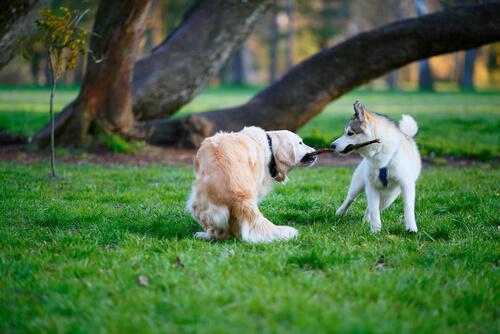 Pelea entre perros