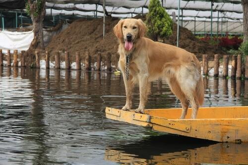 Una perrita salva a sus cachorros en una inundación