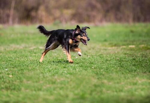 Por qué escapan los perros? — Mis animales