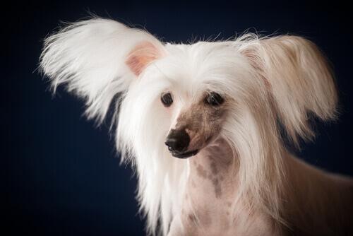 El perro Crestado Chino requiere unos cuidados especiales que su dueño debe conocer
