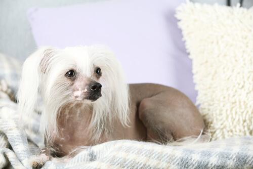 Carácter y cuidados del perro Crestado Chino