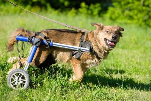 perro discapacitado