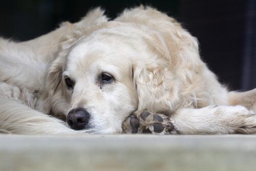 Causas más comunes de la neumonía en mascotas