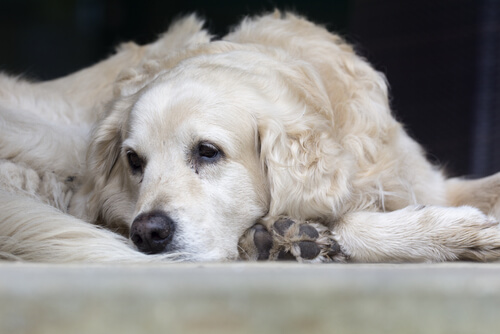 gusano ojo perro tratamiento