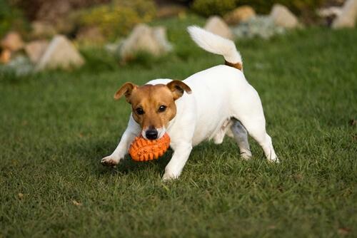 Perro jugando