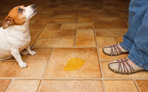 Por qué el perro se orina en casa