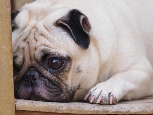 ¿Afecta a los perros la muerte de otra mascota?