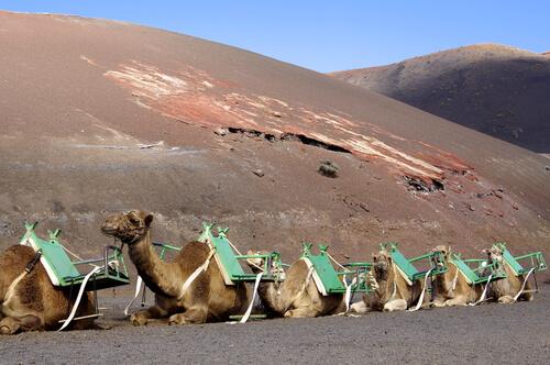 Turismo con camellos en Lanzarote