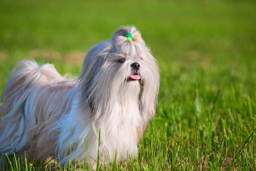 Shih tzu, animales que sueltan pelo