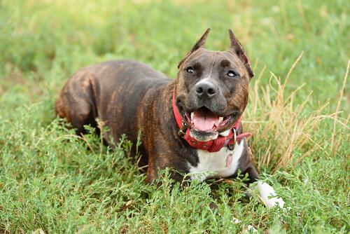 Staffordshire bull terrier, perros agresivos