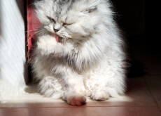 aseo de los gatos