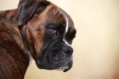 Cabeza de un perro boxer