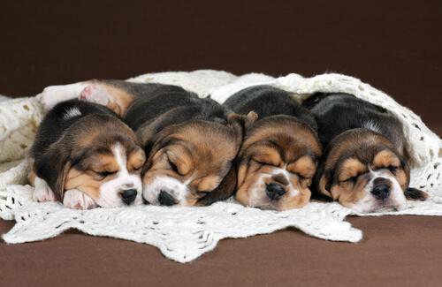A litter of sleeping beagle puppies.