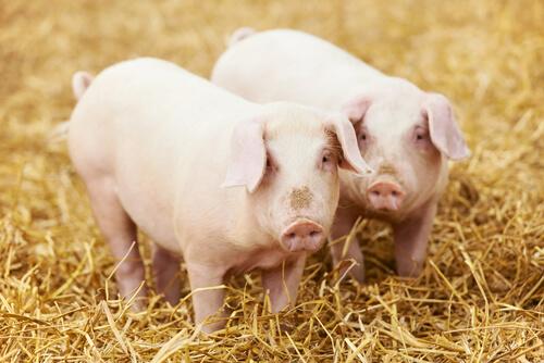 Cerdos comiendo