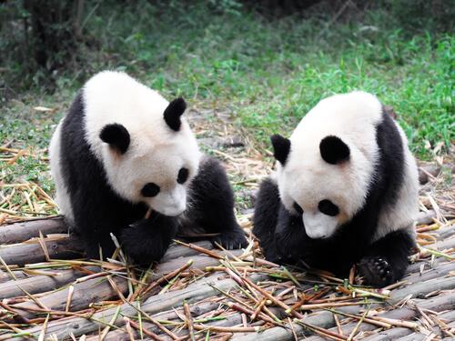 Los osos pandas pueden pasar hasta 14 horas alimentándose.