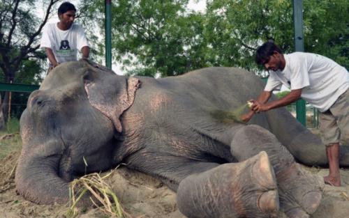 Rescatan a dos elefantes que llevaban medio siglo encadenados en un circo