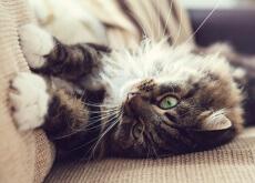 gato en el sofa