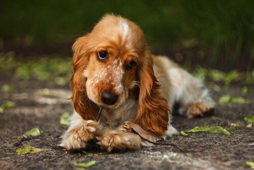 la canela en los perros