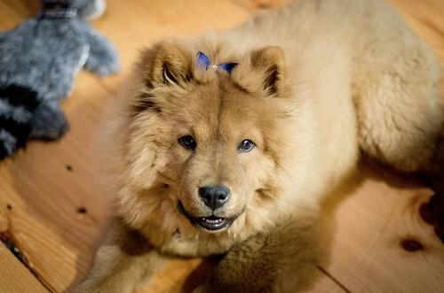 El Chow Chow es una de las razas de perro provenientes de China