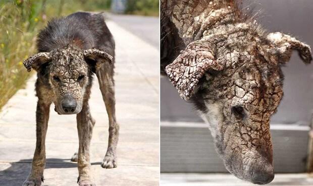Perro con sarna extrema
