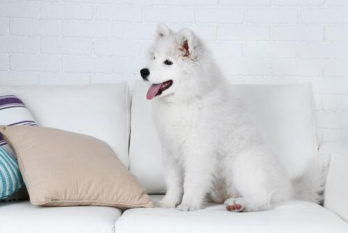 Sencillos trucos para que tu perro no se suba al sofá