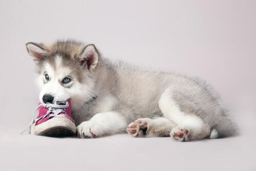 perro le gusta morder zapatos